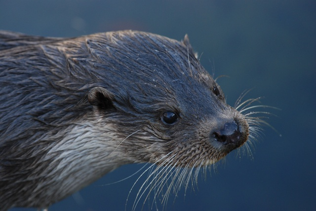 Otter (Lutra lutra) photo