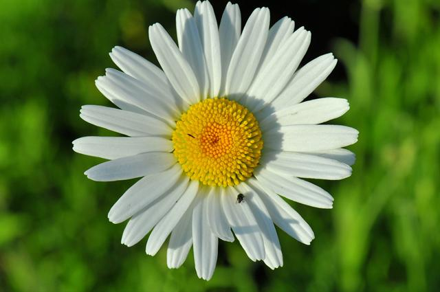 Ox-eye Daisy (Leucanthemum vulgare) photo