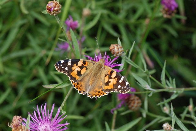 Painted Lady (Cynthia cardui) photo