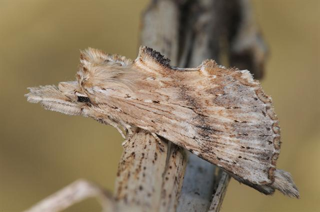 Pale Prominent (Pterostoma palpina) photo