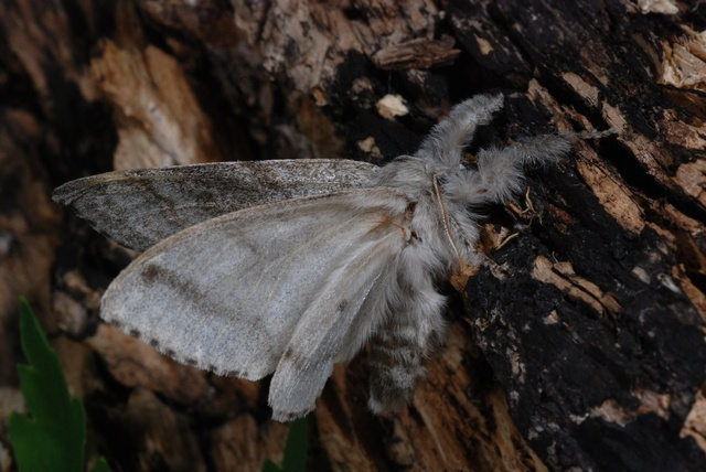 Pale Tussock (Calliteara pudibunda) photo