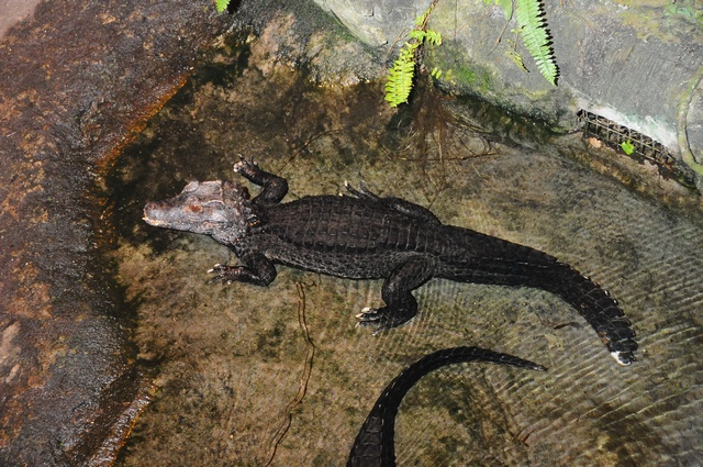 Paleosuchus palpebrosus photo