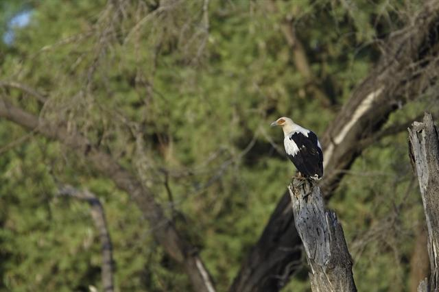 Palm-nut Vulture (Gypohierax angolensis) photo