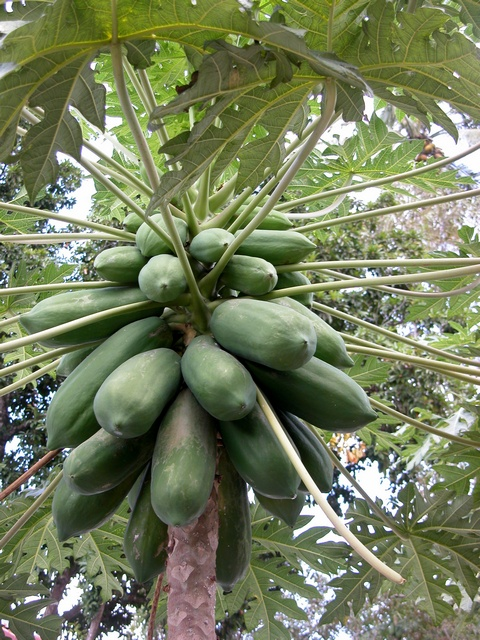 Papaya (Carica papaya) photo