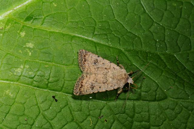 Pale Mottled Willow (Paradrina clavipalpis)