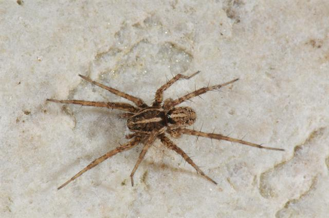 Pardosa monticola photo