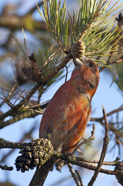Parrot Crossbill (Loxia pytyopsittacus) photo