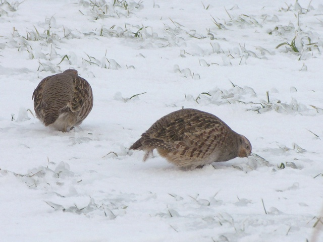 partridge (Perdix perdix) photo