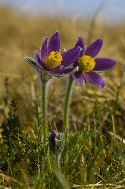 Pasque Flower (Pulsatilla vulgaris) photo