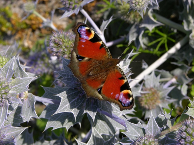 Peacock (Aglais io) photo
