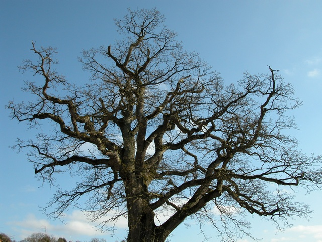 Pedunculate Oak, English Oak (Quercus robur) photo