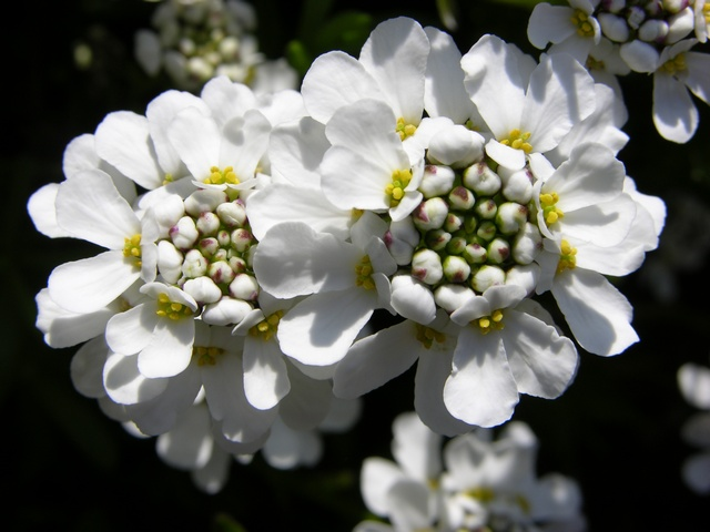 Perennial Candytuft (Iberis sempervirens) photo