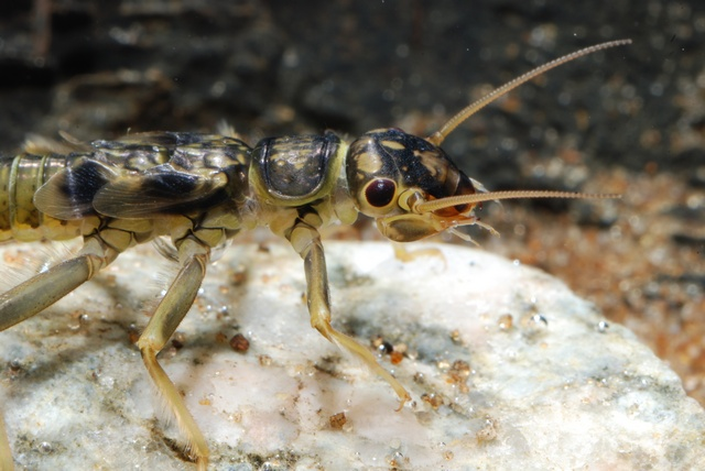 Perlodes microcephala photo