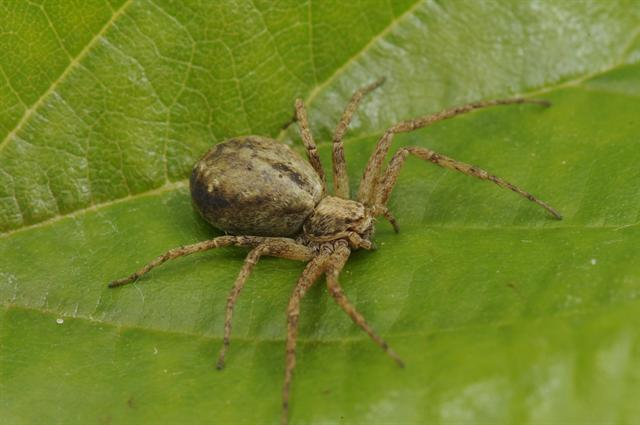 Philodromus aureolus photo