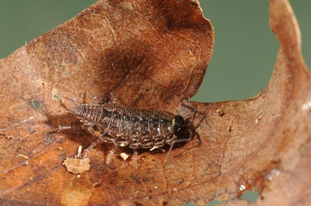 Common striped woodlouse (Philoscia muscorum)