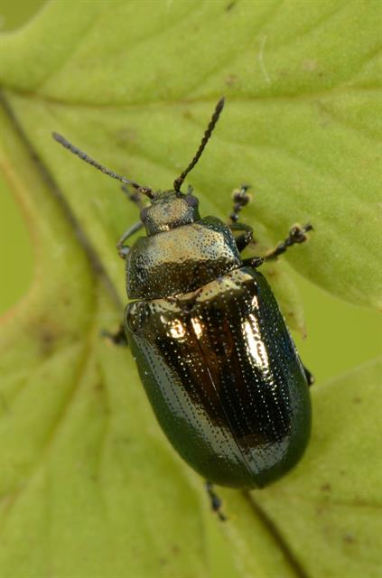 Phratora vitellinae photo