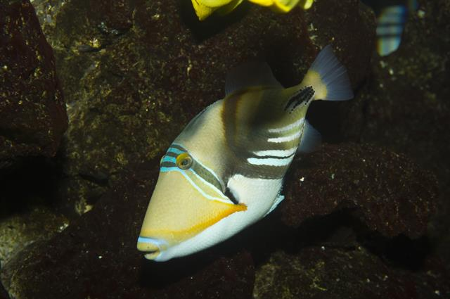Picasso triggerfish (Rhinecanthus aculeatus) photo