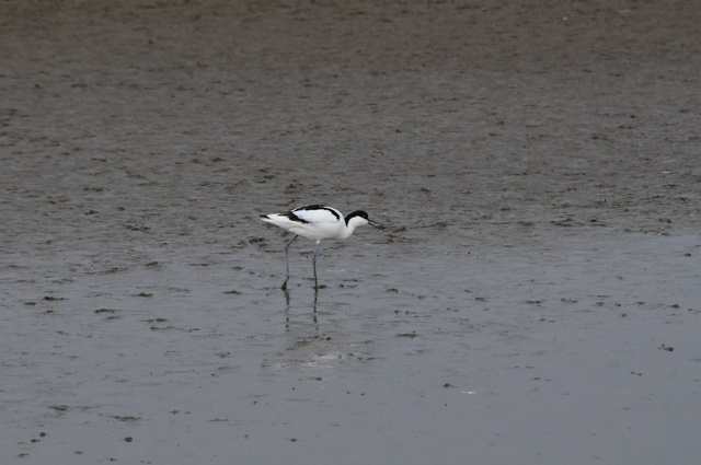 Pied Avocet (Recurvirostra avosetta) photo