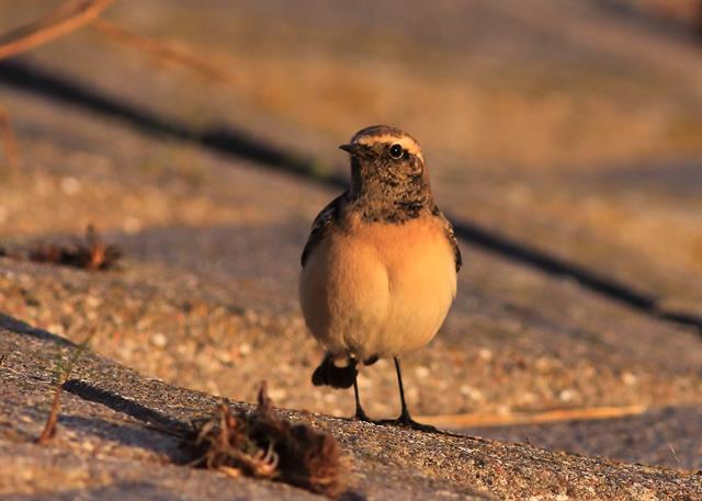 Pied Wheatear (Oenanthe pleschanka) photo