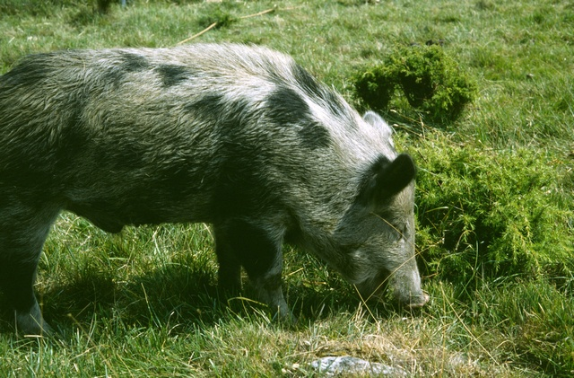 pig (Sus scrofa domesticus) photo