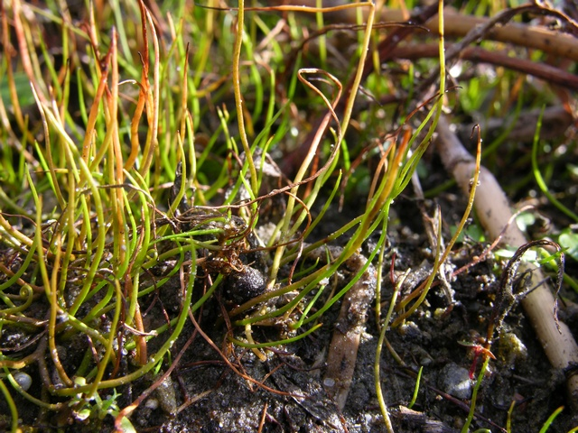 Pillwort (Pilularia globulifera) photo