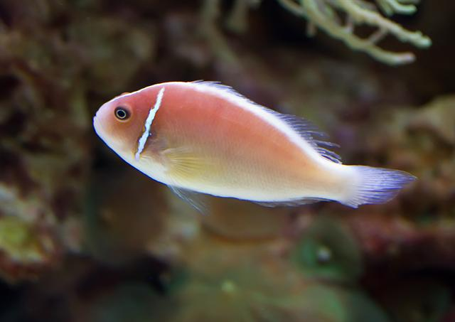 Pink skunk clownfish (Amphiprion perideraion) photo