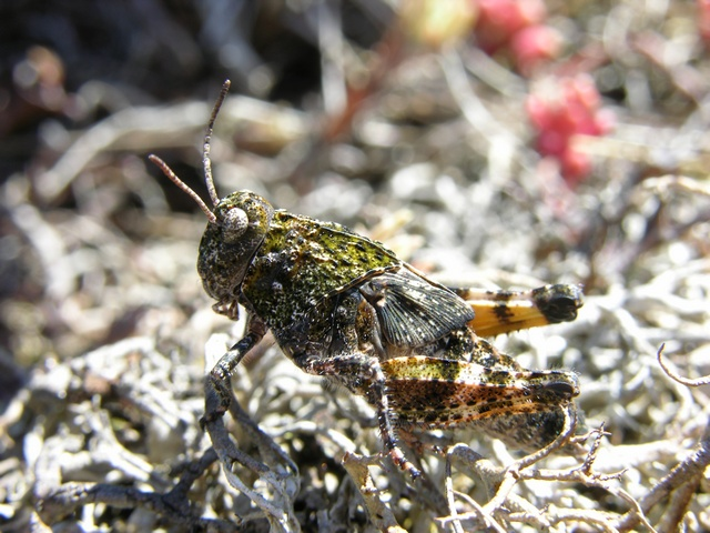 Pink-winged grasshopper (Bryodema tuberculata) photo