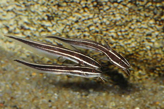 Plotosus lineatus