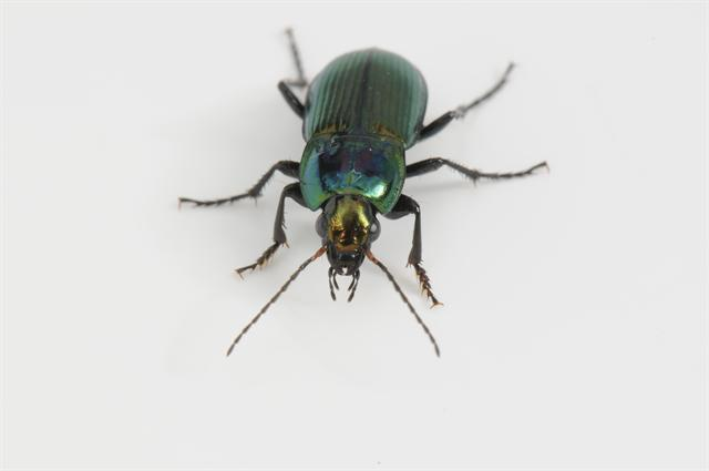 Poecilus versicolor photo