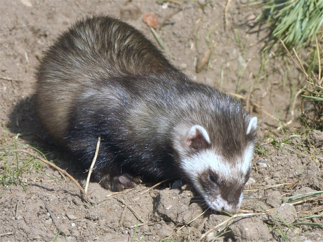 polecat (Mustela putorius) photo