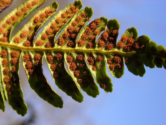 Polypody (Polypodium vulgare) photo