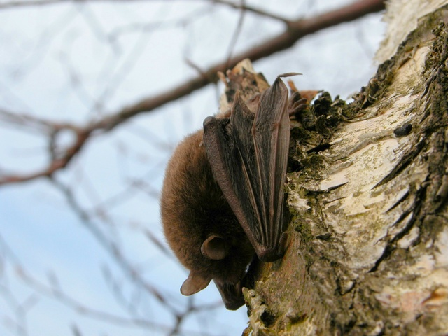 Pond Bat (Myotis dasycneme) photo