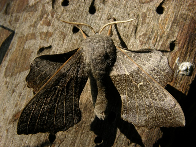 Poplar Hawk-moth (Laothoe populi) photo