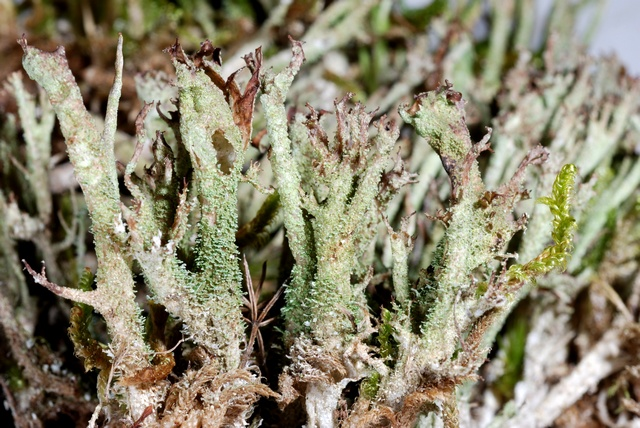 Powdered funnel lichen (Cladonia cenotea) photo