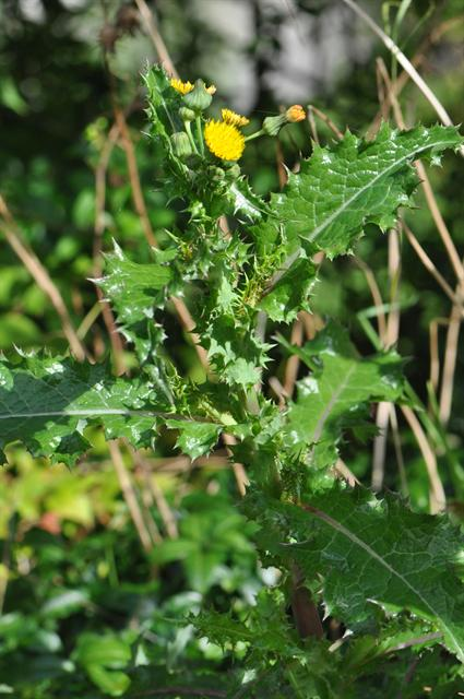 Prickly Sow-Thistle (Sonchus asper) photo