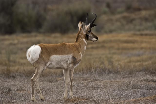 Pronghorn Antelope (Antilocapra americana) photo