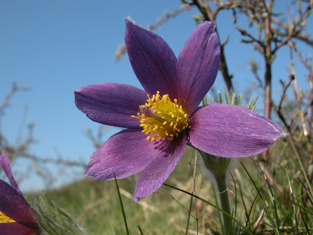 Pasque Flower (Pulsatilla vulgaris)