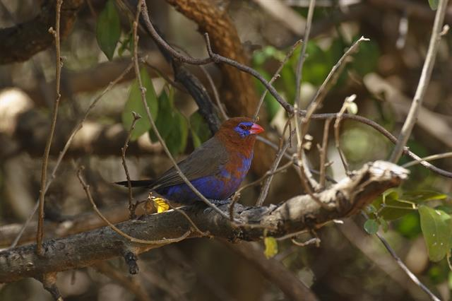 Purple Grenadier (Uraeginthus ianthinogaster) photo