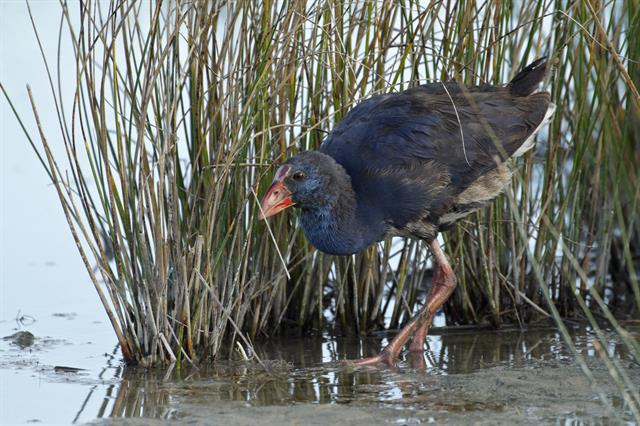 Purple Swamphen (Porphyrio porphyrio) photo