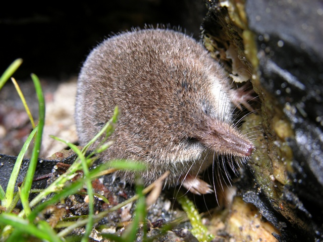 Pygmy Shrew (Sorex minutus) photo