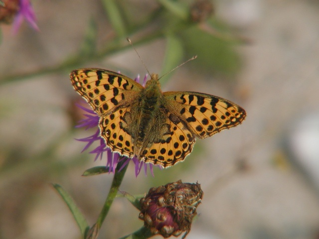 Queen of Spain Fritillary (Issoria lathonia) photo