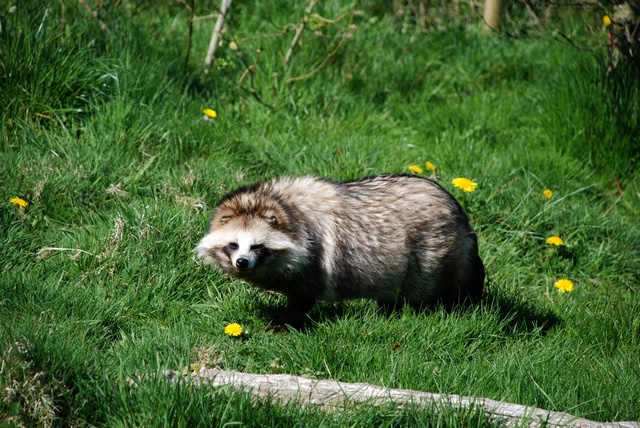 Raccoon Dog (Nyctereutes procyonoides) photo