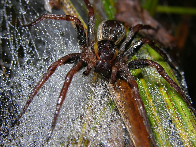 Raft spider (Dolomedes fimbriatus) photo