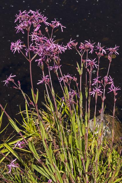 Ragged Robin (Lychnis flos-cuculi) photo