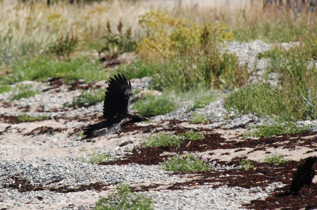 Raven (Corvus corax) photo