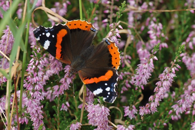 Red Admiral (Vanessa atalanta) photo