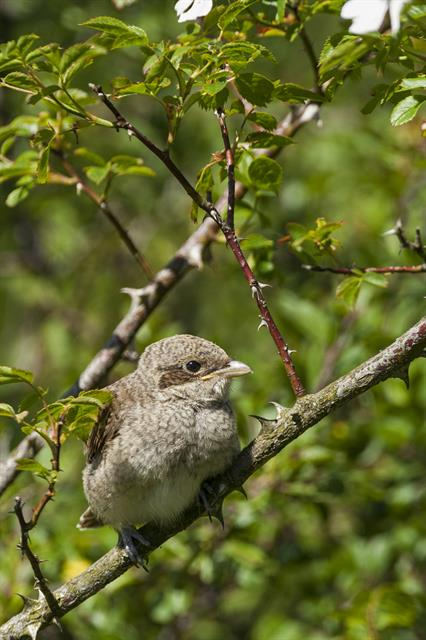 Red-backed Shrike (Lanius collurio) photo