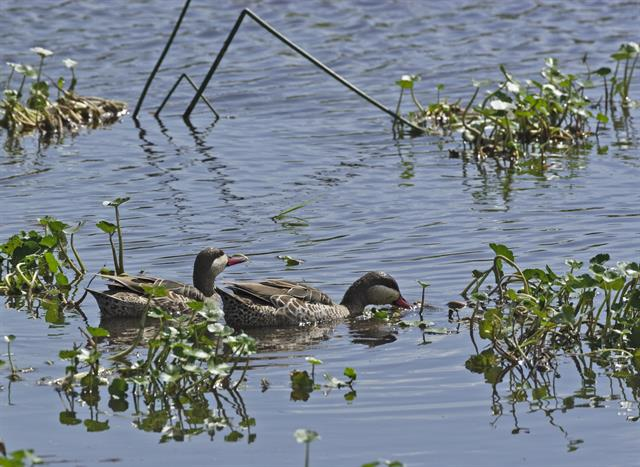Red-billed Teal (Anas erythrorhyncha) photo