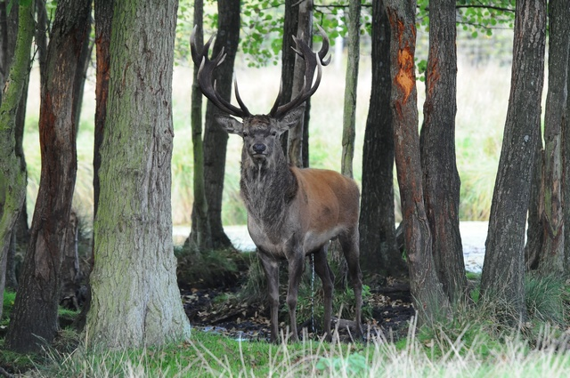 Red deer (Cervus elaphus) photo