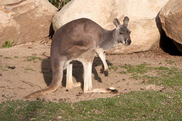 Red Kangaroo (Macropus rufus) photo